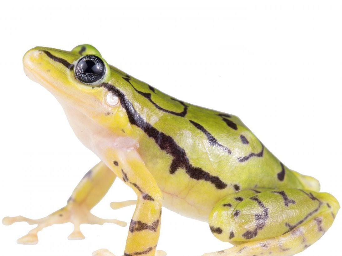 We Just Found a Brand New Frog and It is Spectacular