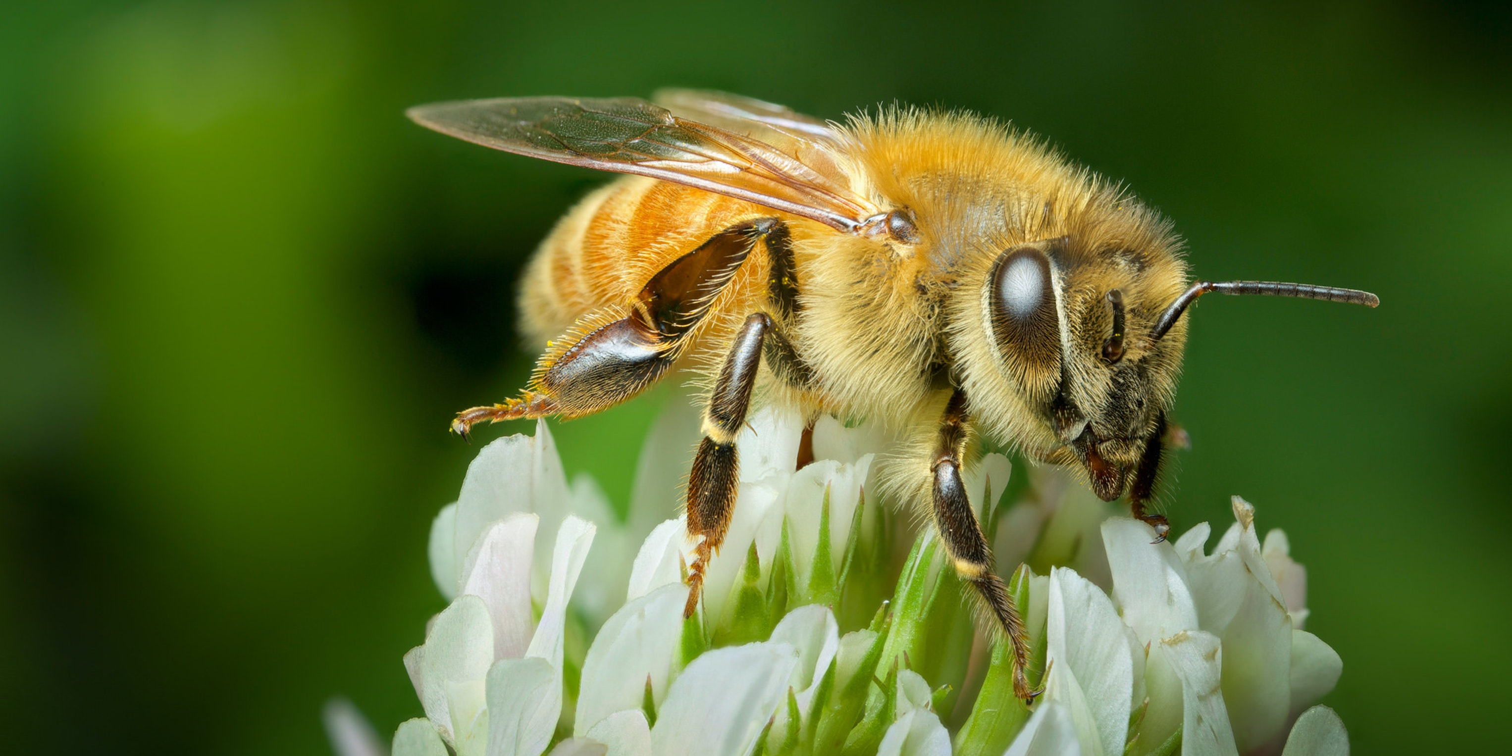 Is This Bacteria the Key to Saving Bees From Pesticides?