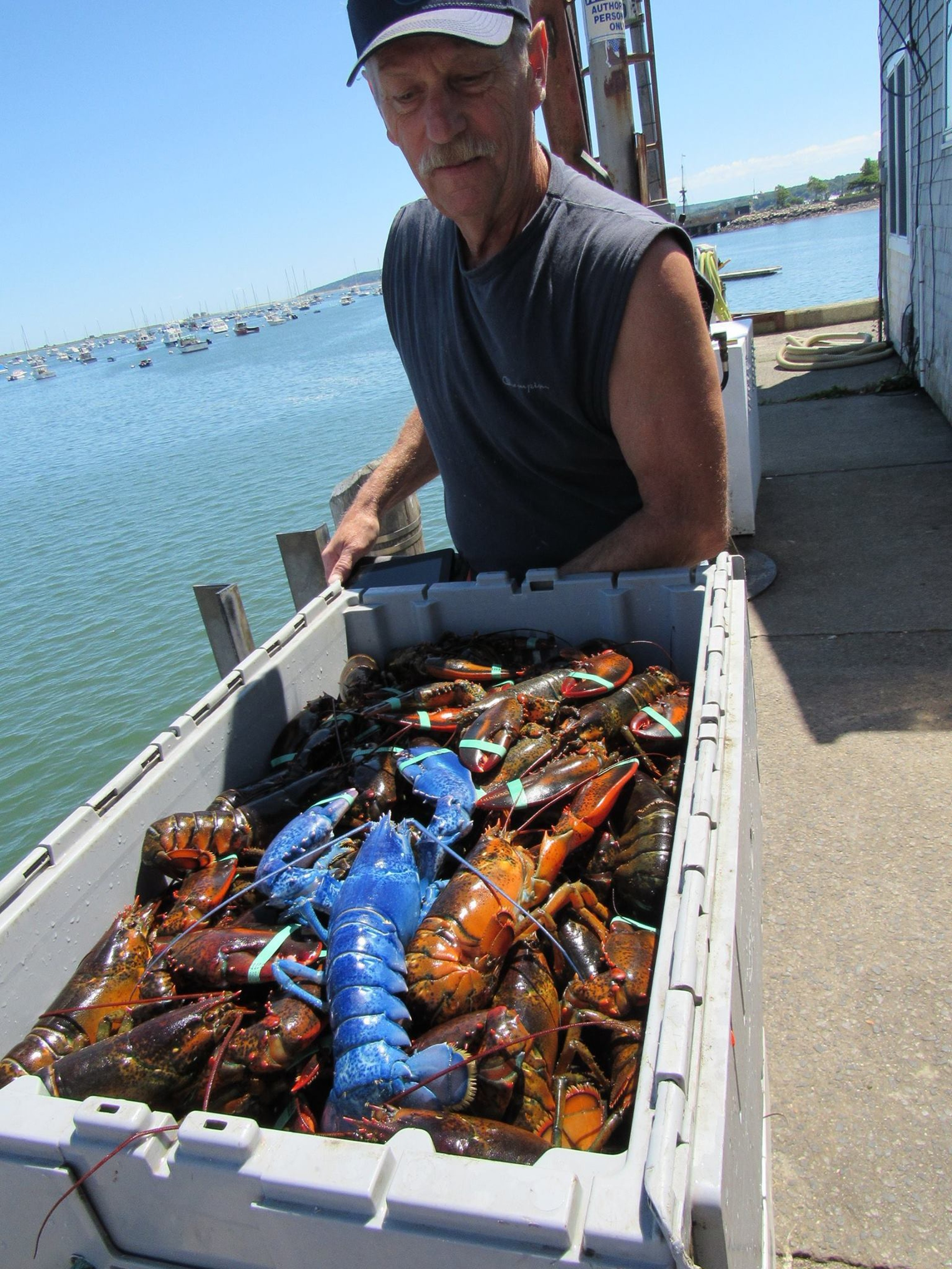Wayne Nickerson, owner/Captain of FV Windsong with Bleu right after catching the lobster off Plymouth.