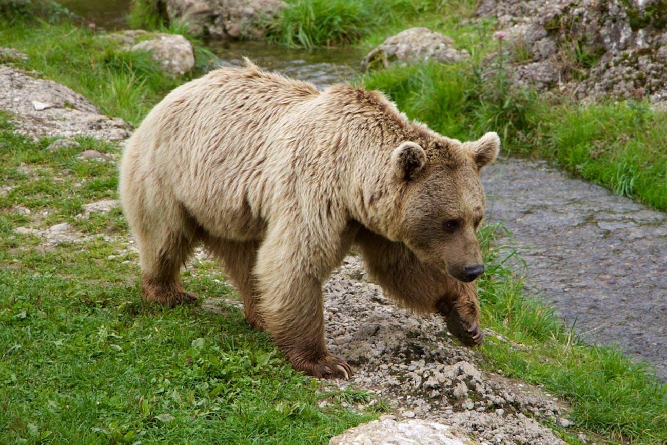 Siberian bear saliva