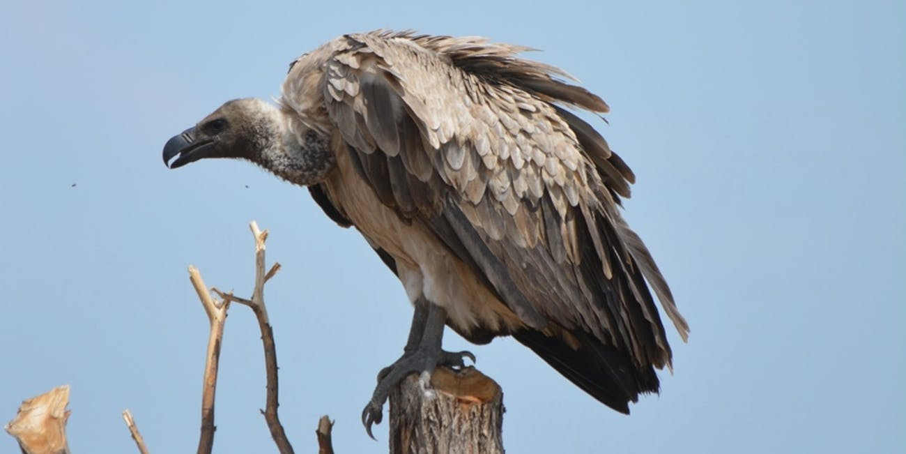 """African white-backed vultures are listed as """"critically endangered"""" by the International Union for Conservation of Nature."""