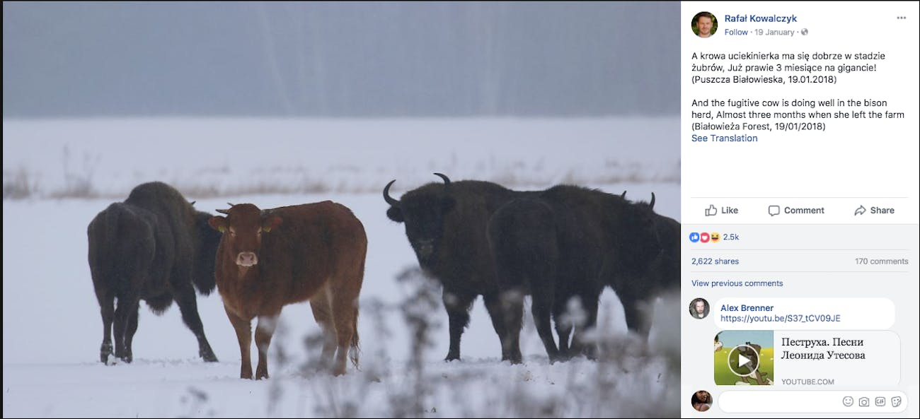 Rebellious cow joins bison herd in Poland.