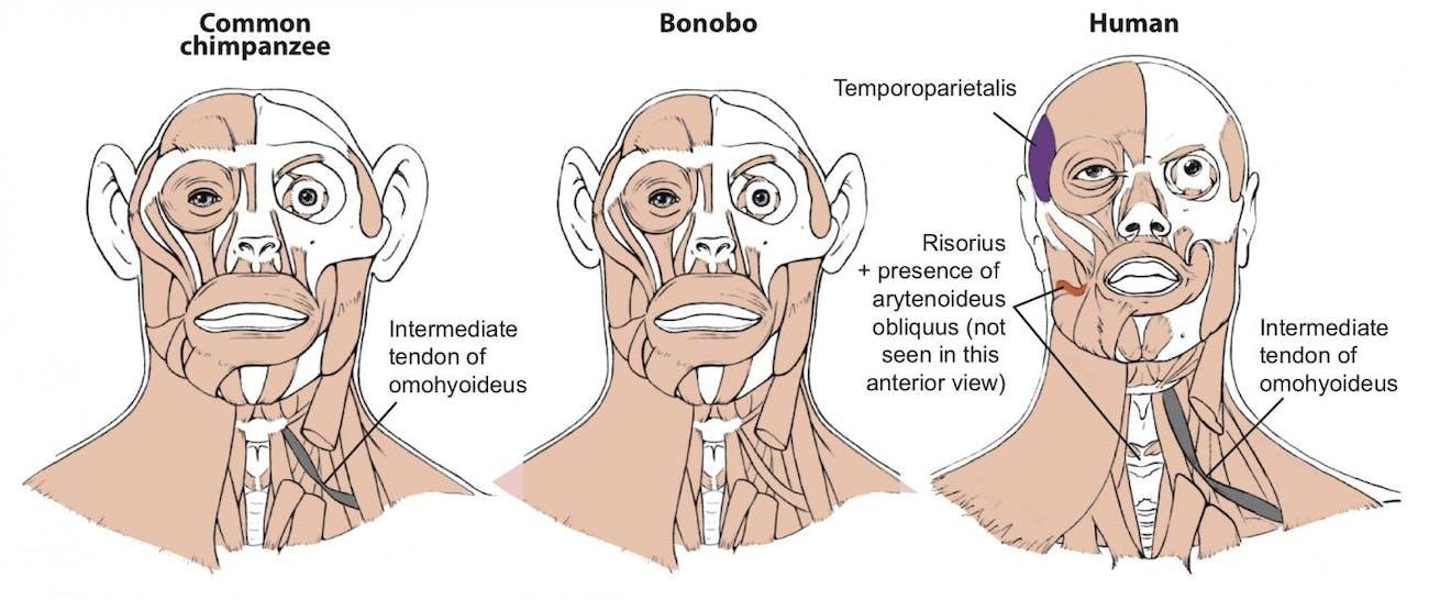chimp, bonobo, human, muscles