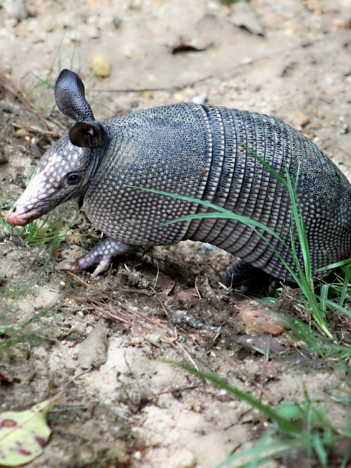 Leprosy Is Spreading From Armadillo-to-Human Contact