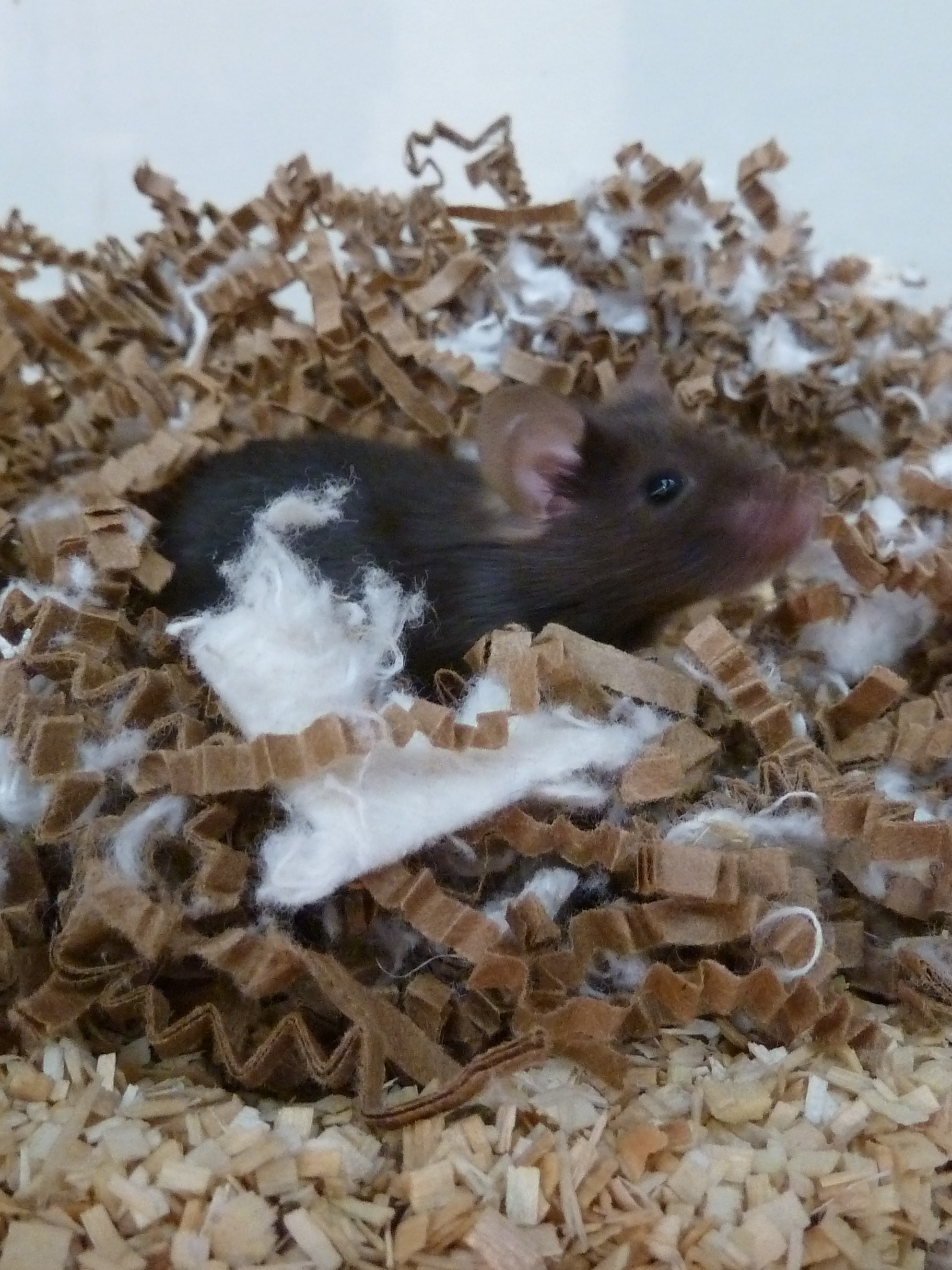Lab mouse sleep nest