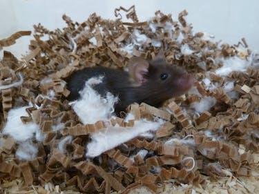 Adorable Nest-Building Lab Mice Teach Us How to Sleep Better