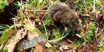 Worm-eating mouse, evoluttion