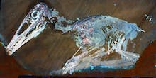 What Did Dinosaurs Look Like? Tom Kaye Finds Answers, Feathers With Lasers