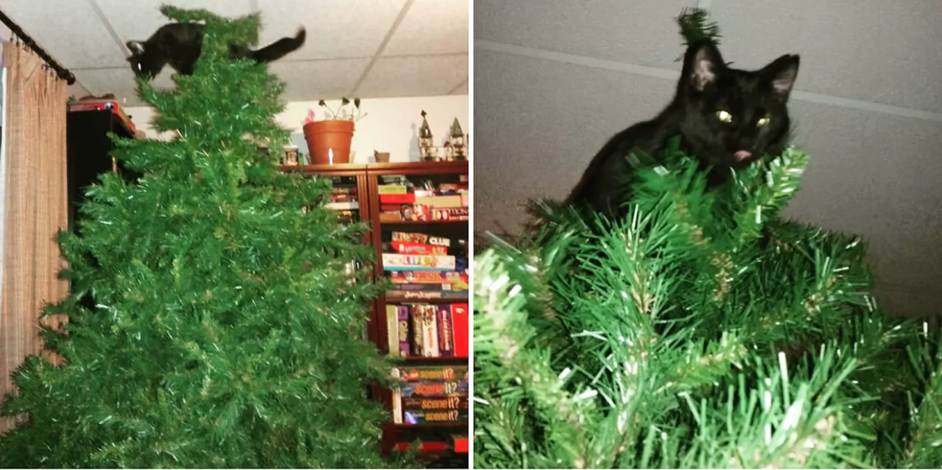 Cat Proof Christmas Tree.Why Do Cats Like Christmas Trees A Scientist Explains Inverse