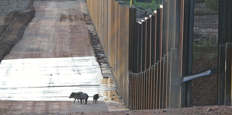 A family of javelinas encounters the U.S.-Mexico border wall near the San Pedro River in southeastern Arizona