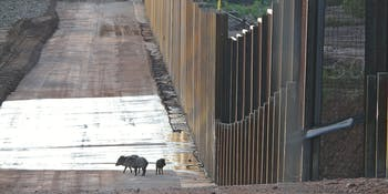 A family of javelinas encounters the U.S.-Mexico border wall near the San Pedro River in southeastern Arizona