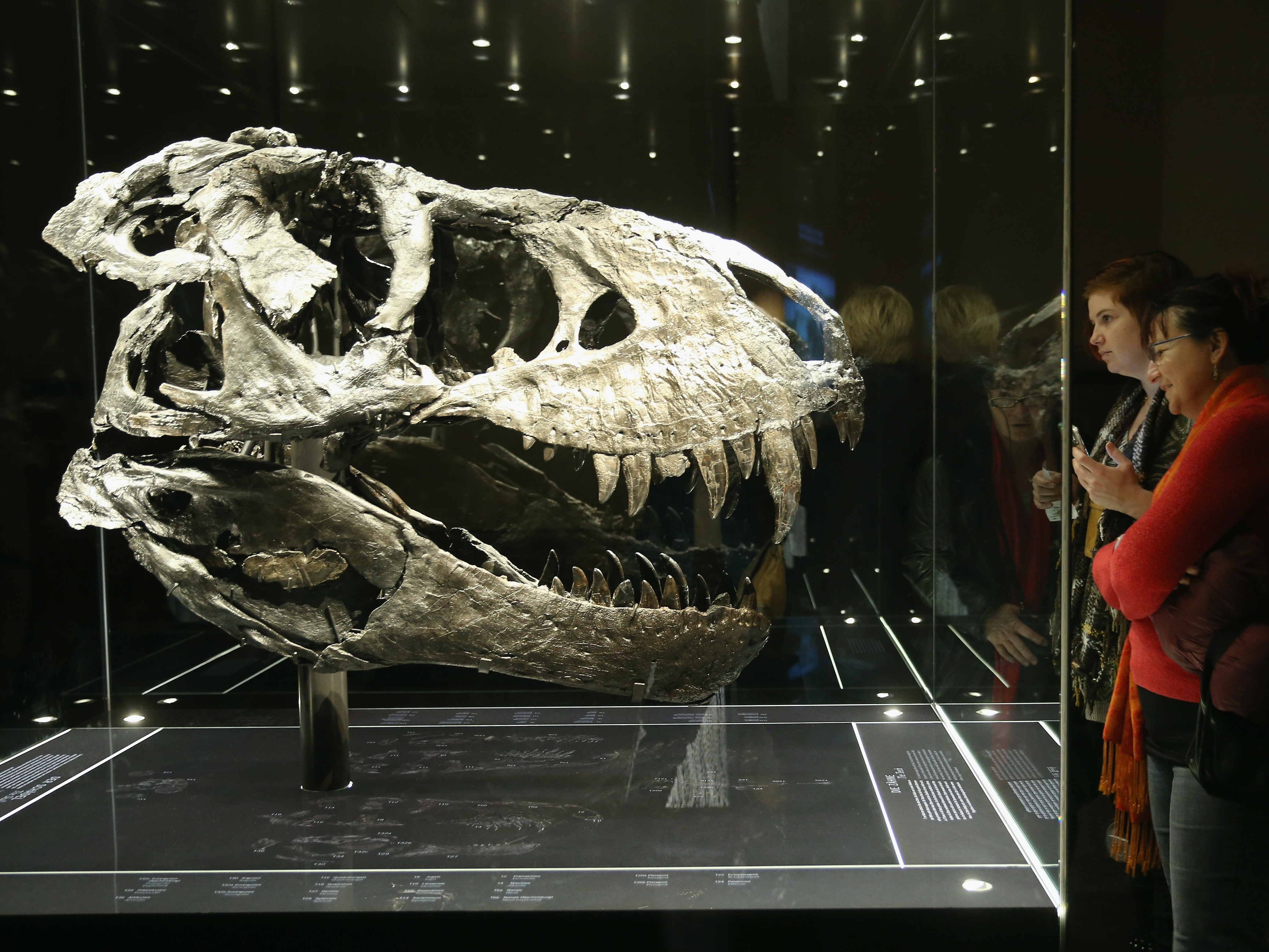 BERLIN, GERMANY - DECEMBER 17:  Visitors look at the original skull, which, due to its weight, had to be exhibited separately from the skeleton, of Tristan the Tyrannosaurus Rex on the first day Tristan was exhibited to the public at the Museum fuer Naturkunde (Natural History Museum) on December 17, 2015 in Berlin, Germany. The skeleton, unearthed in the U.S. state of Montana in 2012, is among the best-preserved large dinosaur skeletons ever found. Tristan is approximately 66 million years old, is 12 meters long and is the first complete Tyrannosaurus Rex to ever be displayed in Europe. Tristan will be on exhibition at the Berlin natural history museum for the next three years.  (Photo by Sean Gallup/Getty Images)