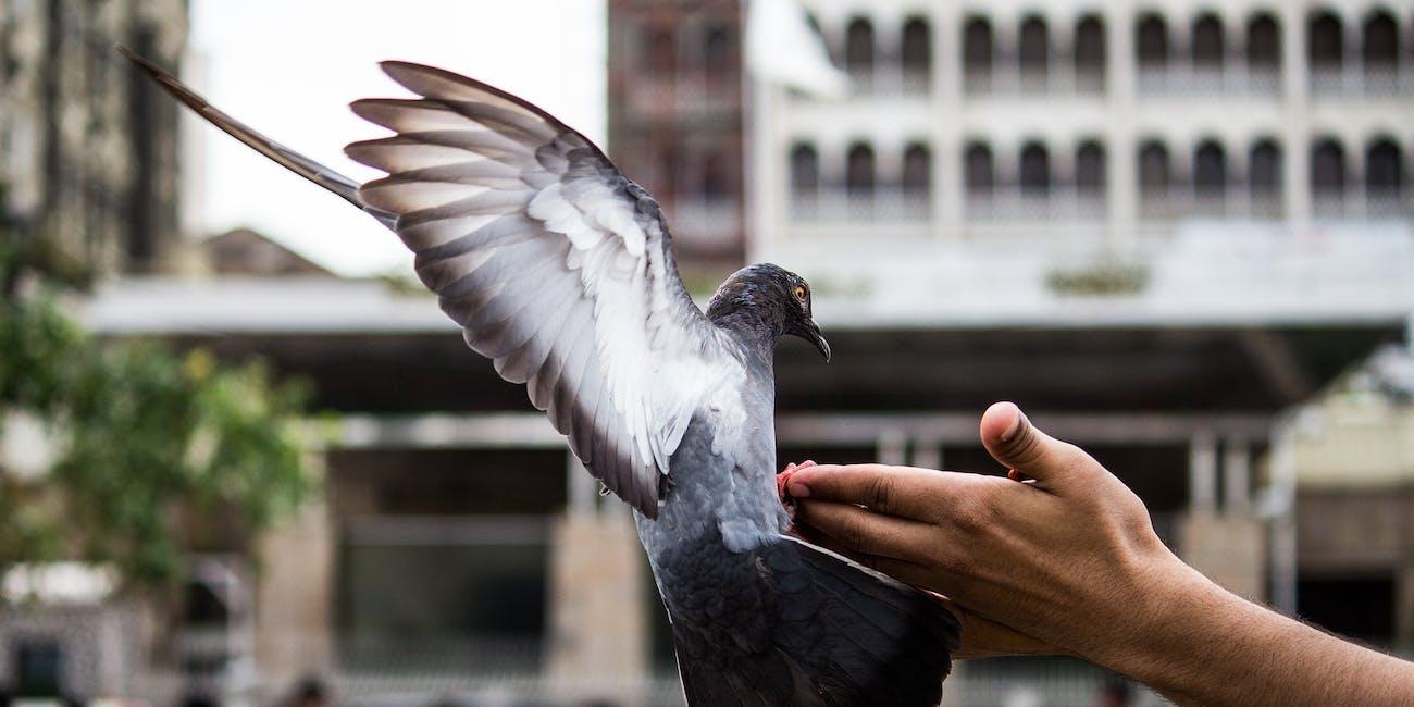 homing pigeon drug smuggling backpack