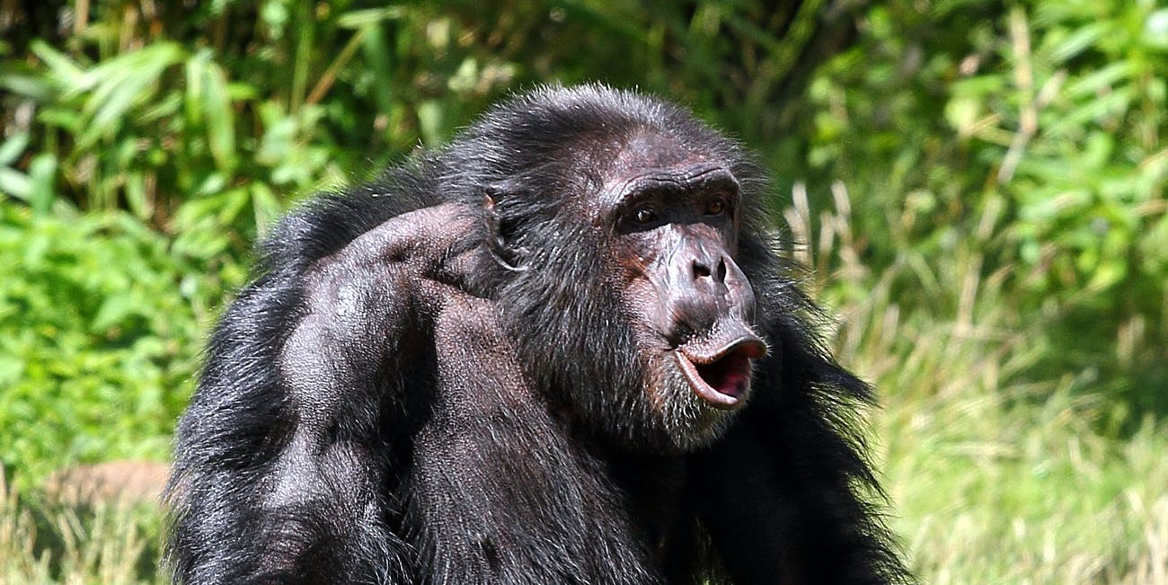 roots of universal communication system revealed in great ape study