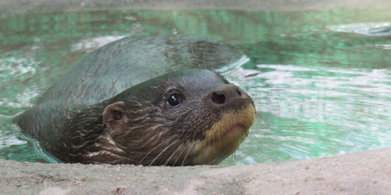 Pursat the Hairy-nose Otter