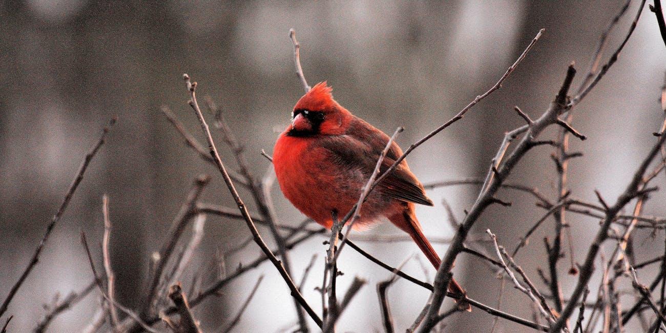 red bird bush