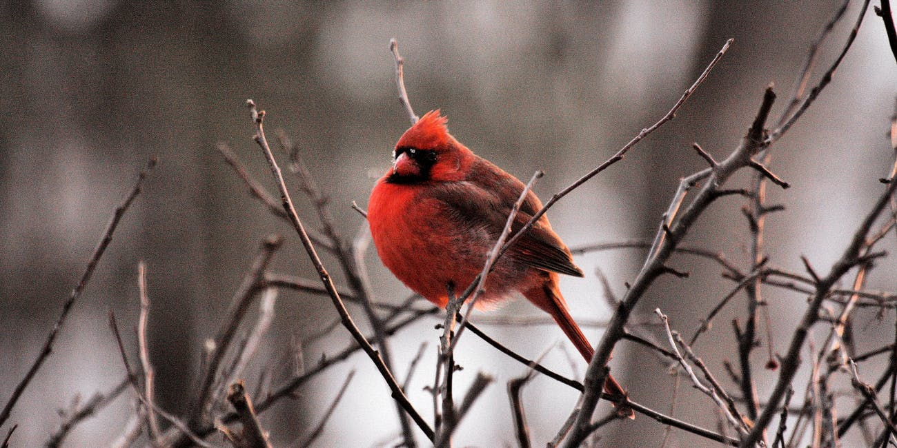 red bird bush