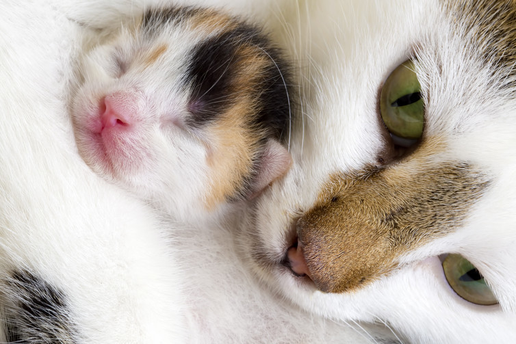 Kittens get securely snuggled by their mothers.