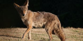 A coyote steps into the light briefly. It's in the process of losing its winter coat.