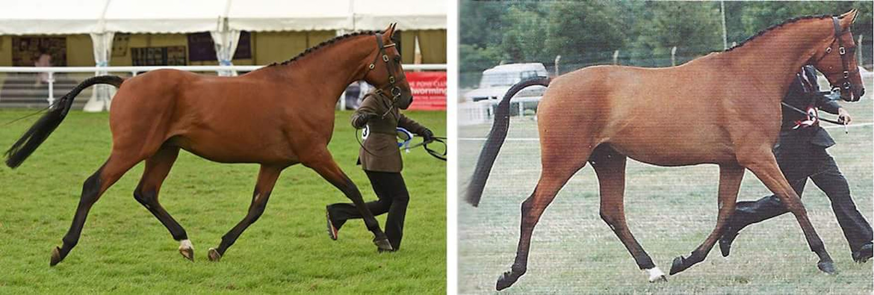 Left: Tomatillo winning his three-year-old class at the Arab Horse Society National Show earlier this year. Right, Tamarillo in 1995.