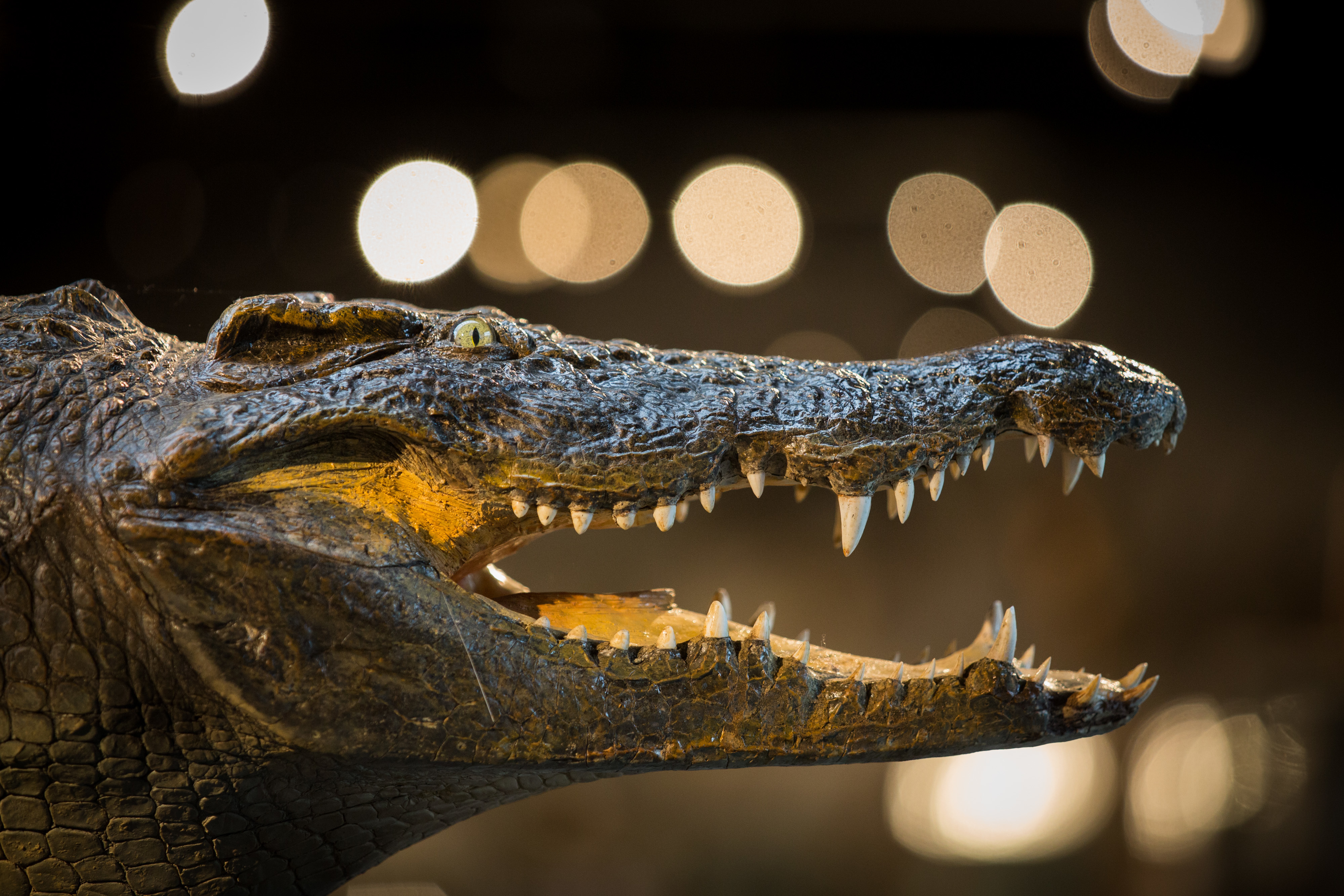 BILLINGSHURST, ENGLAND - NOVEMBER 19:  The head of a full crocodile, estimated to sell for 2500-3000 GBP, is displayed at Summers Place Auctions on November 19, 2015 in Billingshurst, England.  Summers Place Auctions Third Evolution Sale of taxidermy, fossils, and minerals will take place on November 25.  (Photo by Rob Stothard/Getty Images)