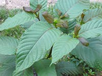 Kratom leaves 3
