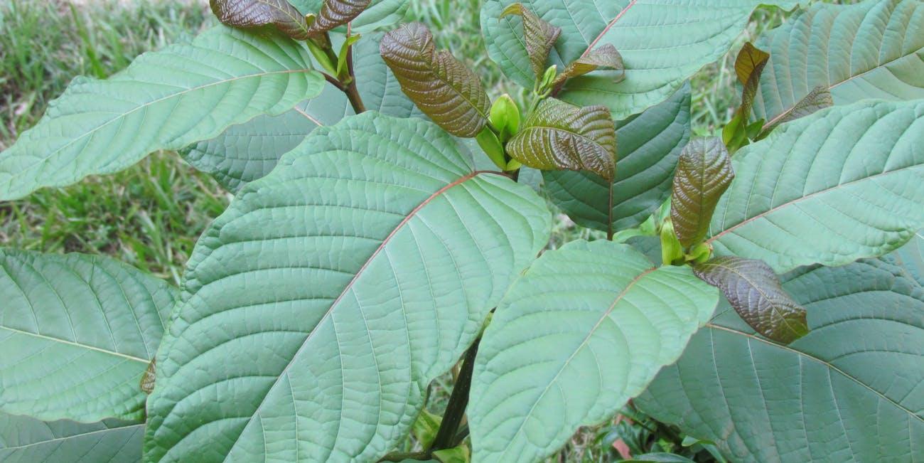 Kratom leaves 3