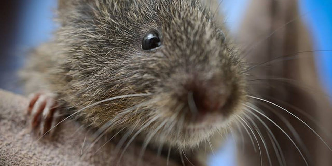 Drinking voles are bad at romance.