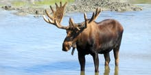 Why More Moose? Climate Change Lets Megafauna Retake Alaska and Absolves Hunters