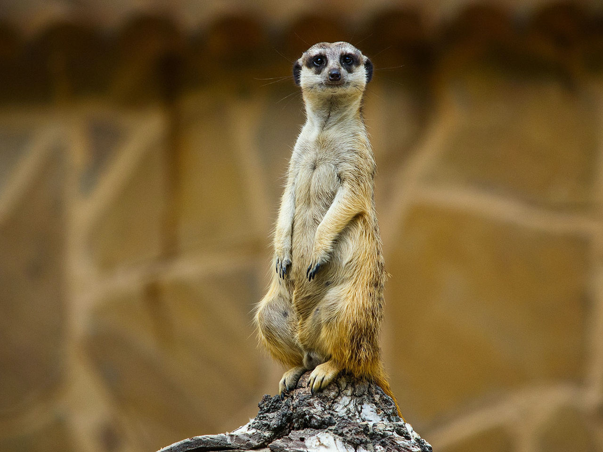 Meerkats: the most murderous mammals.