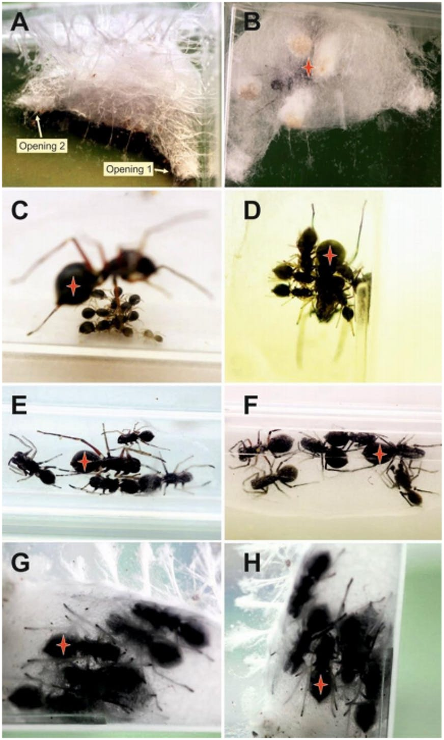 The offspring of T. magnus stick around for more than a month, drinking milk secreted by the mother (indicated by the red star). A and B show the breeding nest, C shows 1-week-old juveniles sucking milk droplets, D shows 3-week-old juveniles sucking milk from the mother, E shows 5-week-old juveniles and the mother, F shows 7-week7old juveniles (subadults) and the mother, G shows 9-week-old offspring (sexually mature) and the mother, and H shows 11-week-old offspring and the mother.