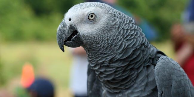 An African Grey Parrot.