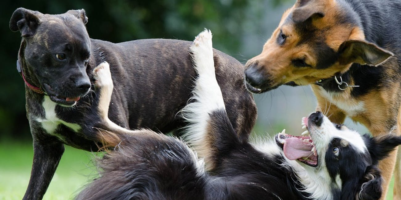 dogs, fight