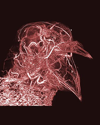 Scott Echols, Scarlet Imaging and the Grey Parrot Anatomy Project