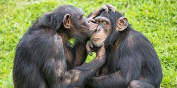 Young chimps taking care of each other