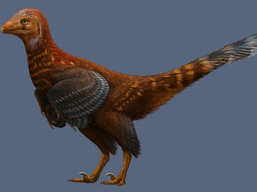New Feathered Dinosaur Helps Illuminate the Evolution of Flight