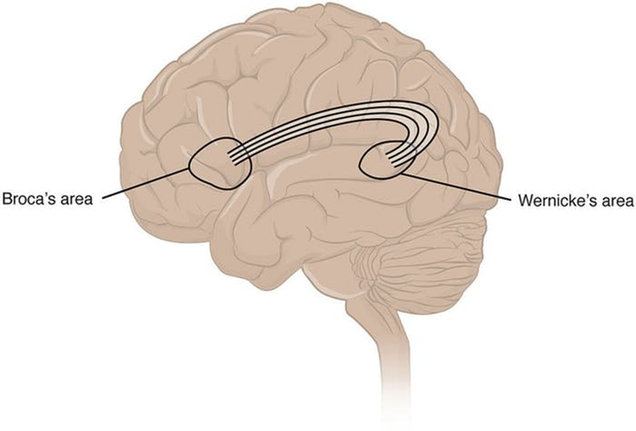 language areas of the brain