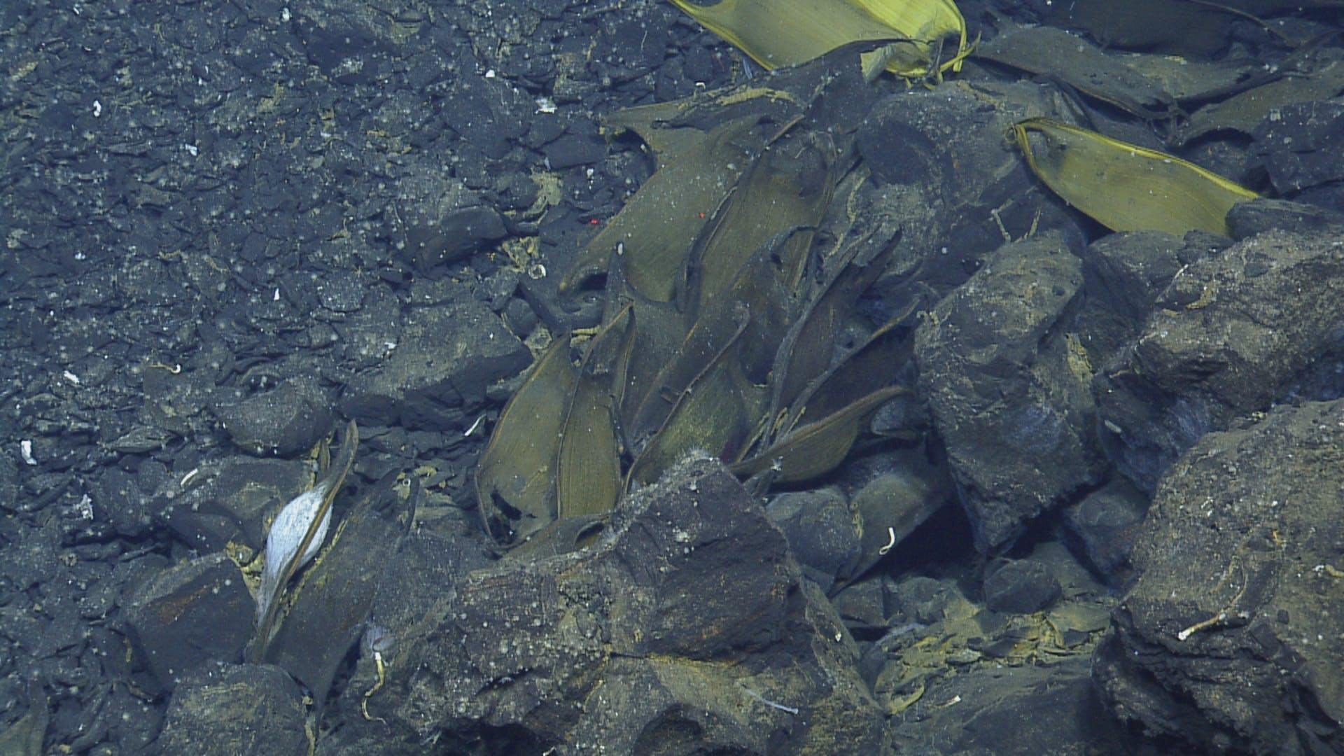Scientists found egg cases between 30 feet and 450 feet from hydrothermal vents.