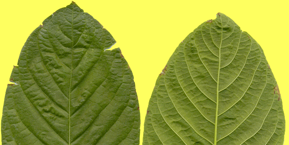 What Are the Benefits (and Drawbacks) of Kratom?