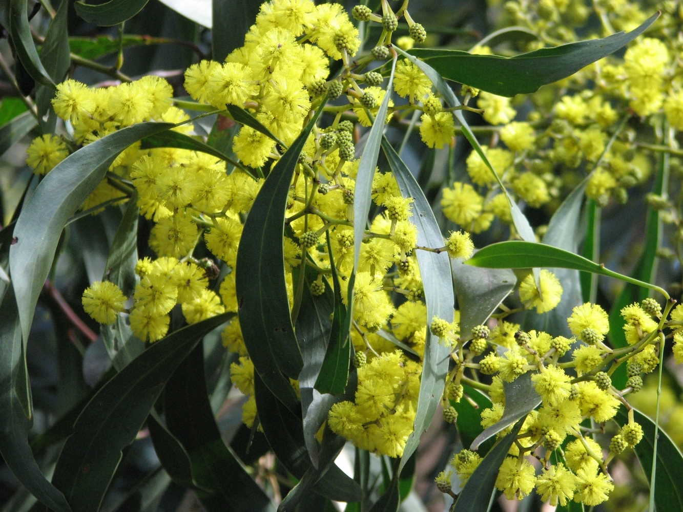 DMT is a naturally occurring substances in members of the Acacia species, many of which are native to Australia.
