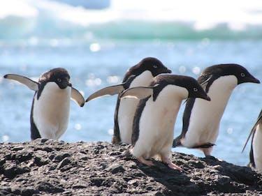 Penguins running over a ridge