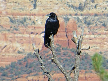 Raven intelligence children smart cognition arizona sedona