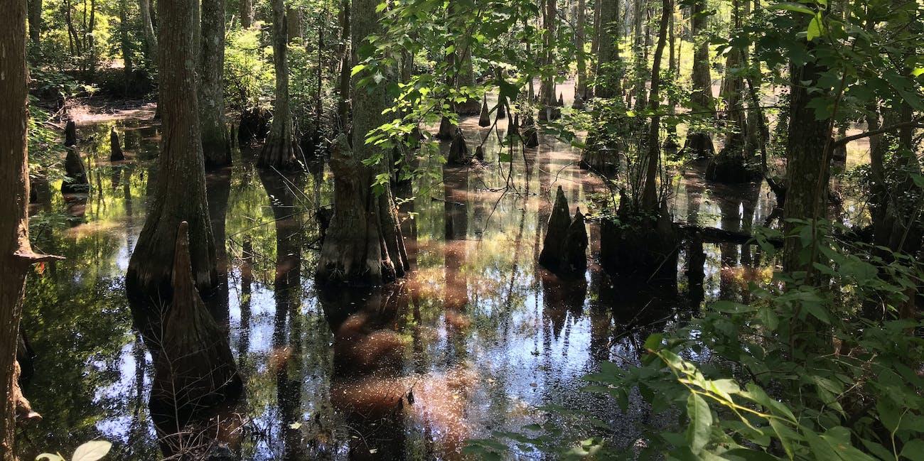 First Landing State Park swamp