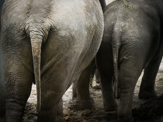 The Physics of Poop, Explained by Elephants