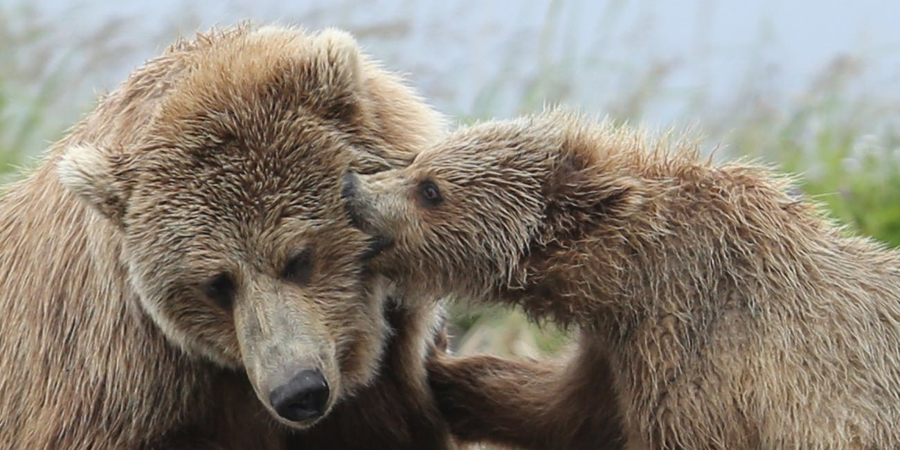 A brown bear cub plays with its mother, biting the fur on her face, at Silver Salmon Creek. Credit: NPS Photo / J. Pfeiffenberger. 2014.
