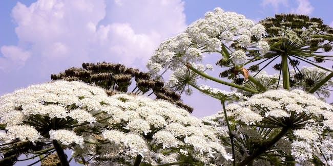 Giant Hogweed - Heracleum mantegazzianum