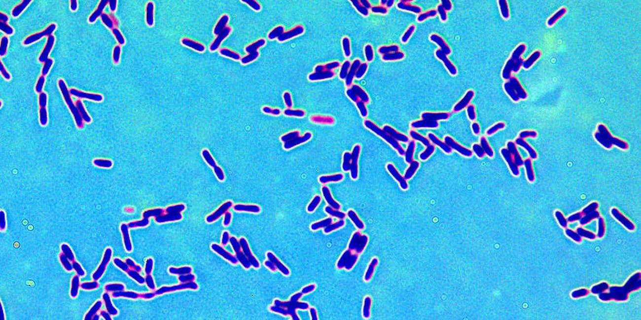 lattobacilli, bacteria