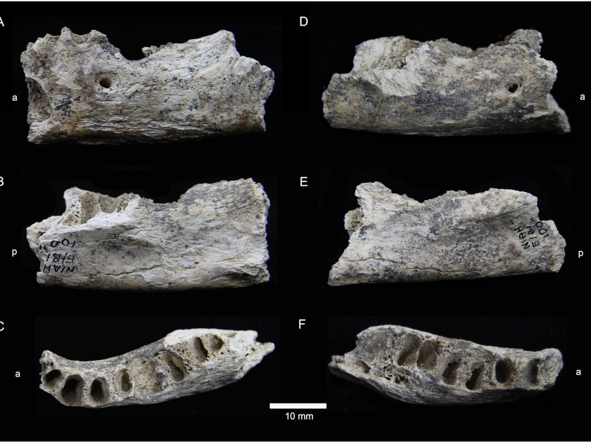 "Human mandible E/B1 100"" from the West Mouth of the Niah Caves."