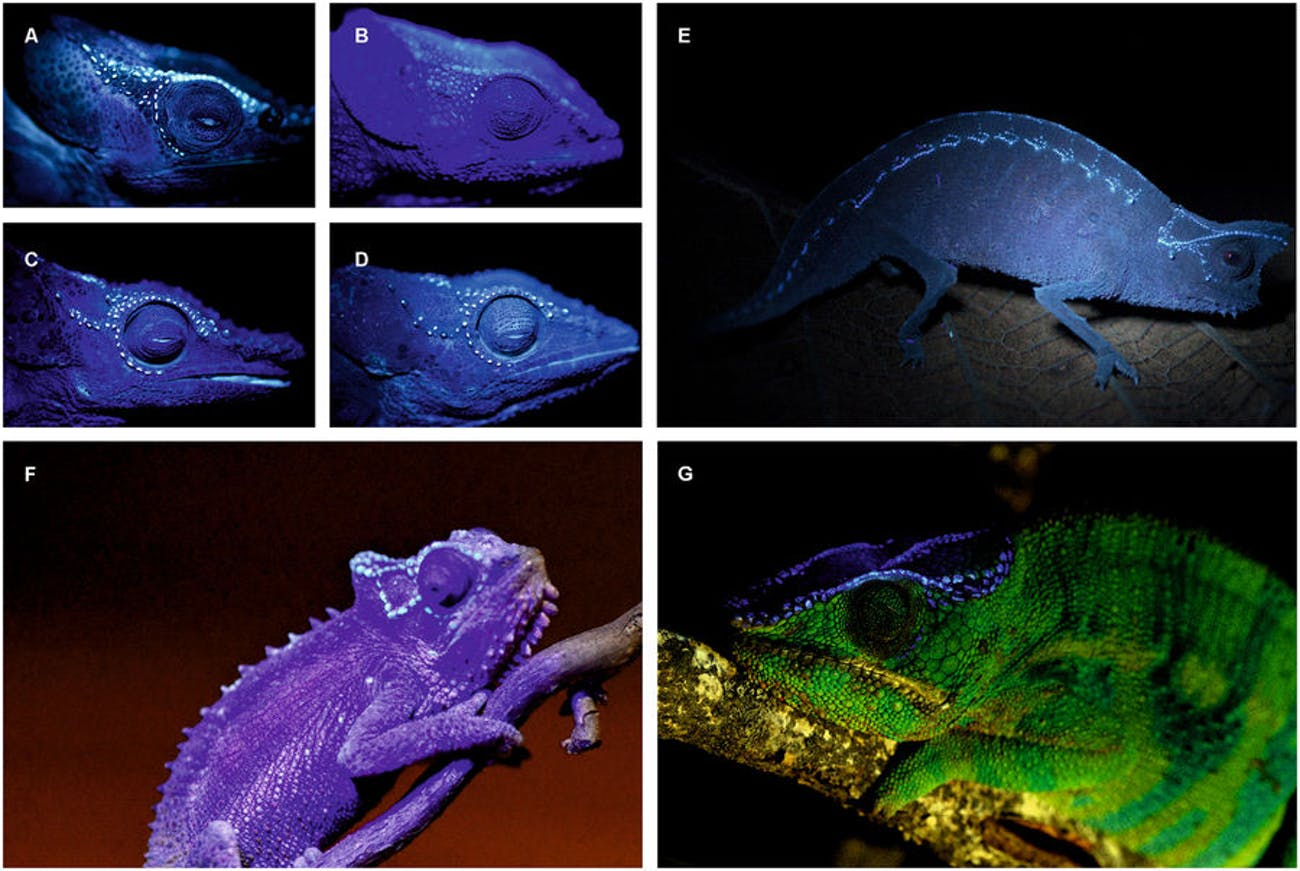 UV glowing chameleons