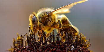 Bees evolved in Puerto Rico to become more gentle.